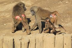 Olive baboon. The trio of olive baboons on the soil stock photo