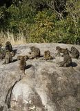 Olive Baboon Troop Royalty Free Stock Photo