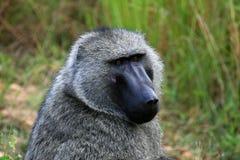 Olive Baboon, Uganda, Africa Stock Photography