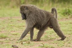 Olive Baboon walking Stock Image