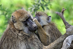 Olive baboon Stock Photos