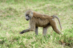 Olive baboon Royalty Free Stock Image