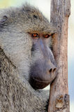 Olive baboon Stock Photography