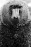 Olive baboon Stock Image