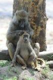 Olive baboon Stock Photos