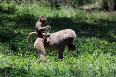 olive baboons Arkivbild