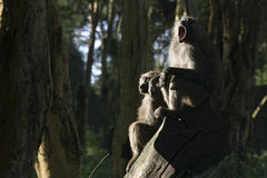 olive baboons Arkivbilder