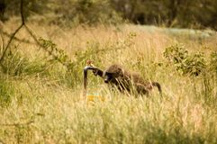 Olive Baboons -7. Olive baboons in Serengeti reserves, Tanzania Royalty Free Stock Photo
