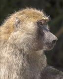 olive baboons Royaltyfria Foton