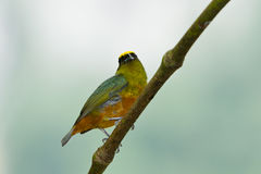 Olive backed euphonia Royalty Free Stock Photography