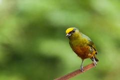 Olive backed euphonia Stock Images