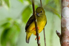 Olive backed euphonia Royalty Free Stock Photos