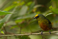 Olive backed euphonia Stock Photography