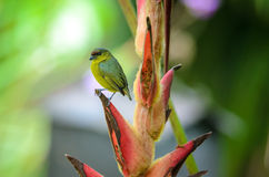 Olive-backed Euphonia - female Stock Photos