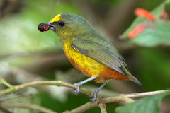 Olive-backed euphonia Stock Photos
