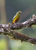 Olive-backed Euphonia Male Stock Images
