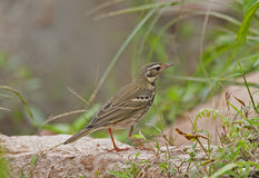 Olive-backed Pipit Royalty Free Stock Photo