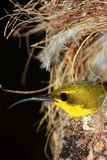 Olive-backed Sun-bird Stock Photos