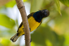 Olive-backed Sunbird. Sub- species found in malaysia stock image