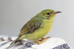 Olive-Backed Sunbird Royalty Free Stock Photos