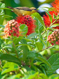 Olive-backed Sunbird Stock Images