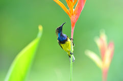 Olive-backed Sunbird (bird). Olive-backed Sunbird  bird of thailand background Royalty Free Stock Photo