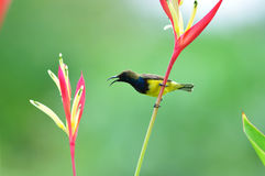 Olive-backed Sunbird (bird). Olive-backed Sunbird  bird of thailand background Royalty Free Stock Photography