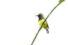 Olive-backed Sunbird. (Bird) Olive-backed Sunbird perching on branch isolate on white royalty free stock image