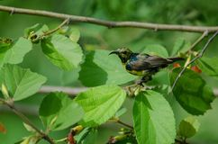 Olive-backed Sunbird on branch in nature stock images