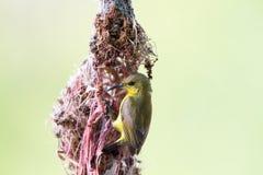 Olive-backed sunbird Stock Photo