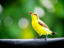 The olive-backed sunbird Cinnyris jugularis, also known as the yellow-bellied sunbird, is a southern Far Eastern species of sunb. The beautiful olive-backed stock image