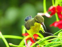 The olive-backed sunbird Cinnyris jugularis, also known as the yellow-bellied sunbird, is a southern Far Eastern species of sunb. The beautiful olive-backed stock photography