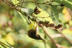 Olive-backed sunbird Stock Image
