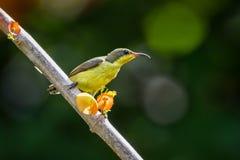 Olive-backed sunbird Stock Photos
