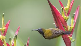Olive-backed Sunbird Dangling on Flower Stock Images