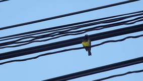 Olive-backed sunbird on the electric line stock video