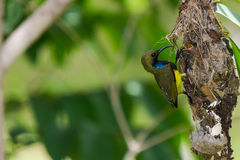 Olive-backed Sunbird Feeding Chicks Royalty Free Stock Photo