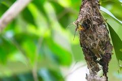 Olive-backed Sunbird Feeding Chicks Stock Photography