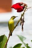 Olive Backed Sunbird - Female Stock Photos