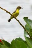 Olive Backed Sunbird - Female Royalty Free Stock Photo