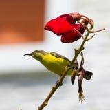Olive Backed Sunbird - Female Stock Photography