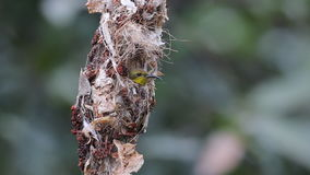 Olive-backed sunbird Female in nest stock video