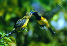 Olive-backed Sunbird Stock Photography