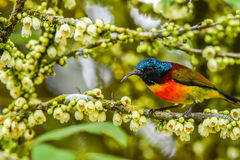 Olive-backed sunbird. Holding branch to eat white flower nectar royalty free stock photos