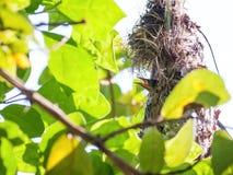 Olive-backed sunbird nestling Royalty Free Stock Image