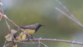 Olive-backed Sunbird On Shrubbery Royalty Free Stock Photos