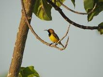 Olive Backed Sunbird Stock Images