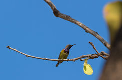 Olive backed sunbird on the tree branch Stock Photo
