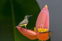 Olive backed sunbird, Yellow bellied sunbird. A little bird on banana flower Royalty Free Stock Photos