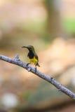 Olive-backed sunbird, Yellow-bellied sunbird Stock Image